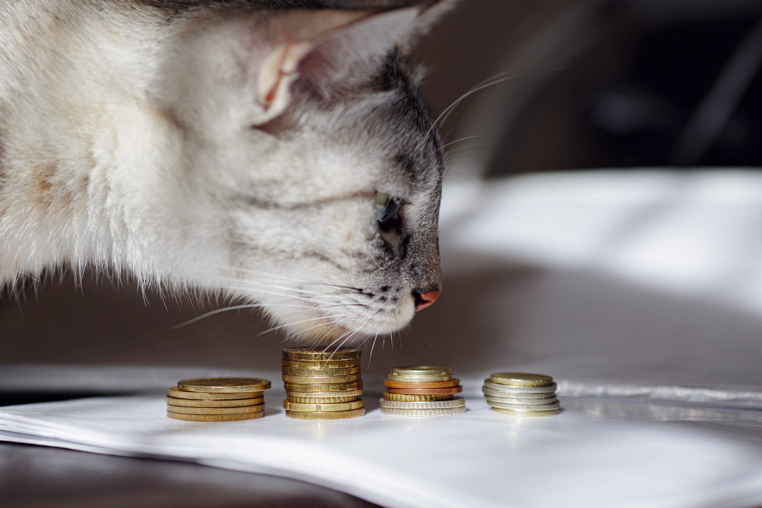A grey cat watching stack of coins.