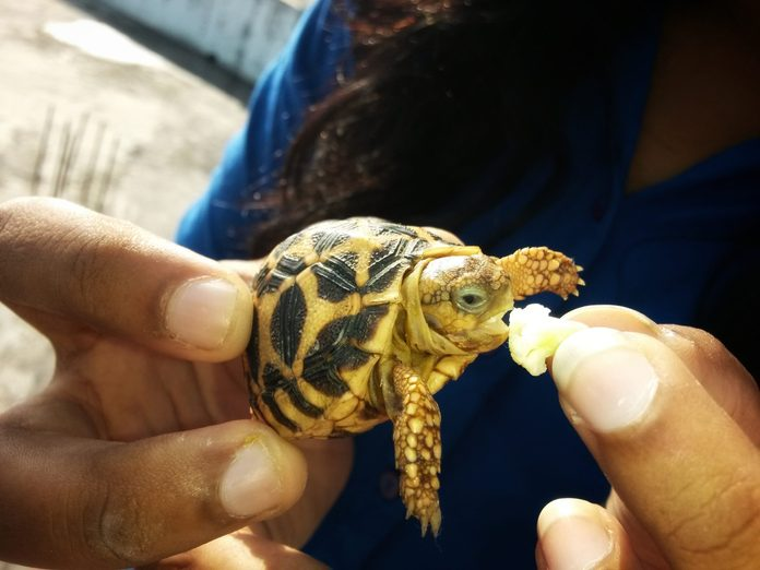Baby star turtle eating, cute baby turtle eating broccoli from hand