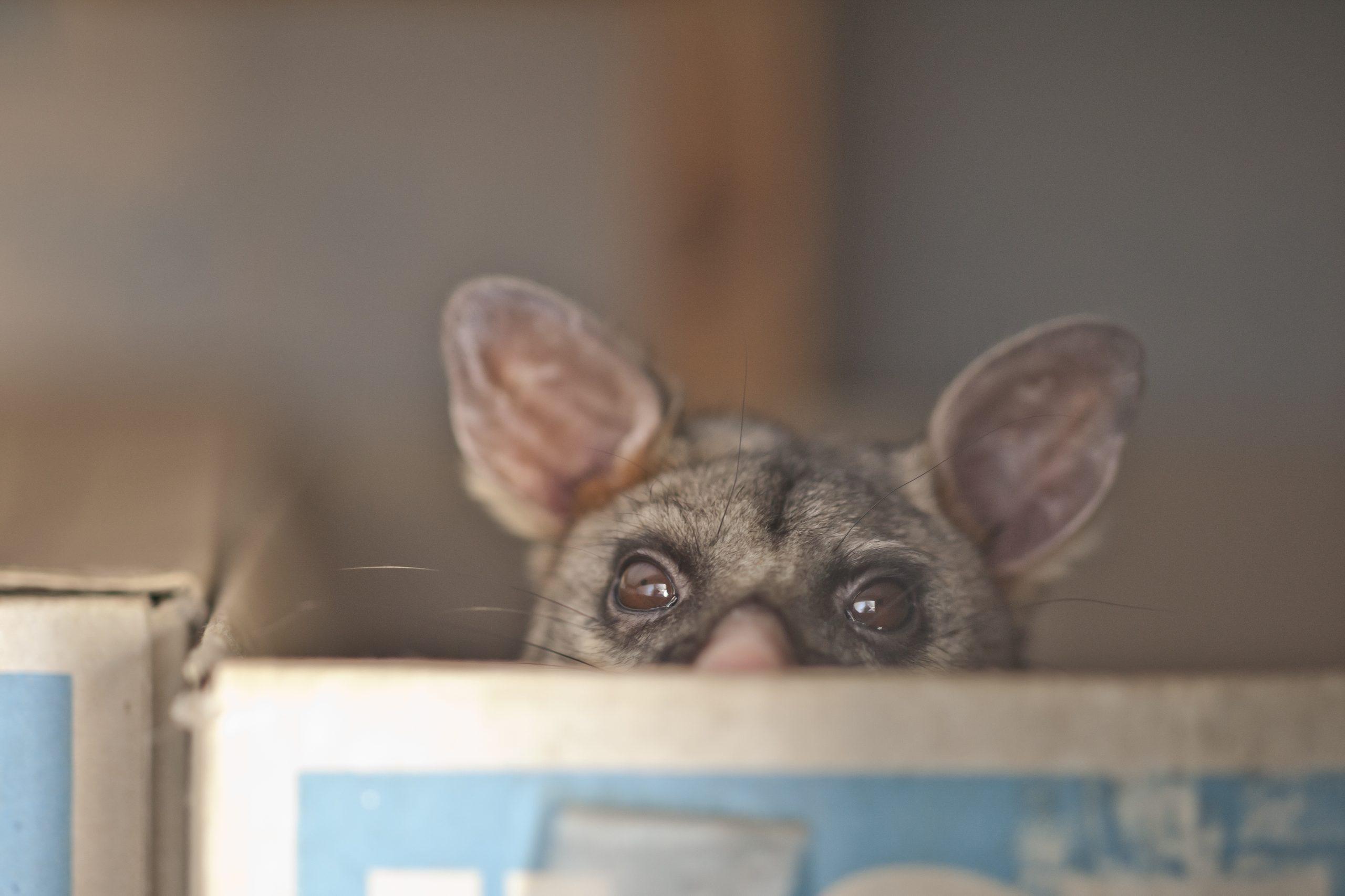 Possum in box