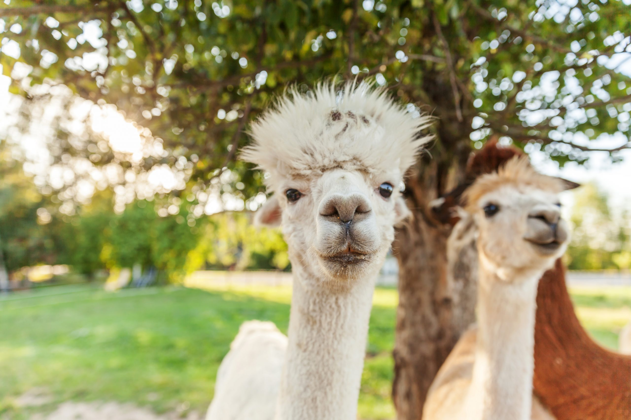 Cute alpaca with funny face relaxing on ranch in summer day. Domestic alpacas grazing on pasture in natural eco farm countryside background. Animal care and ecological farming concept