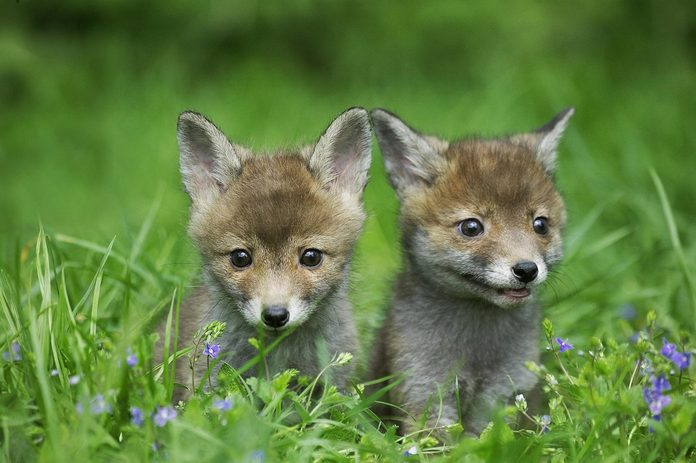 Red Fox, vulpes vulpes, Pup standing in Long Grass, Normandy