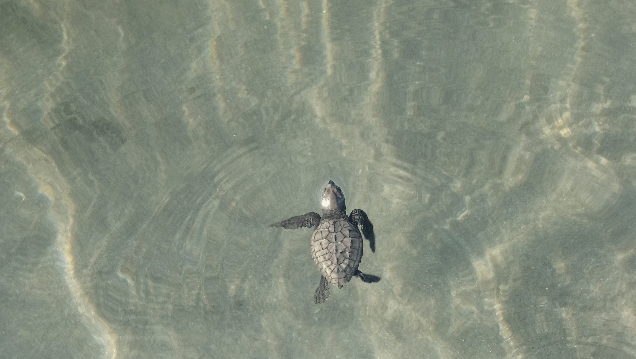 Baby turtle swimming in the ocean
