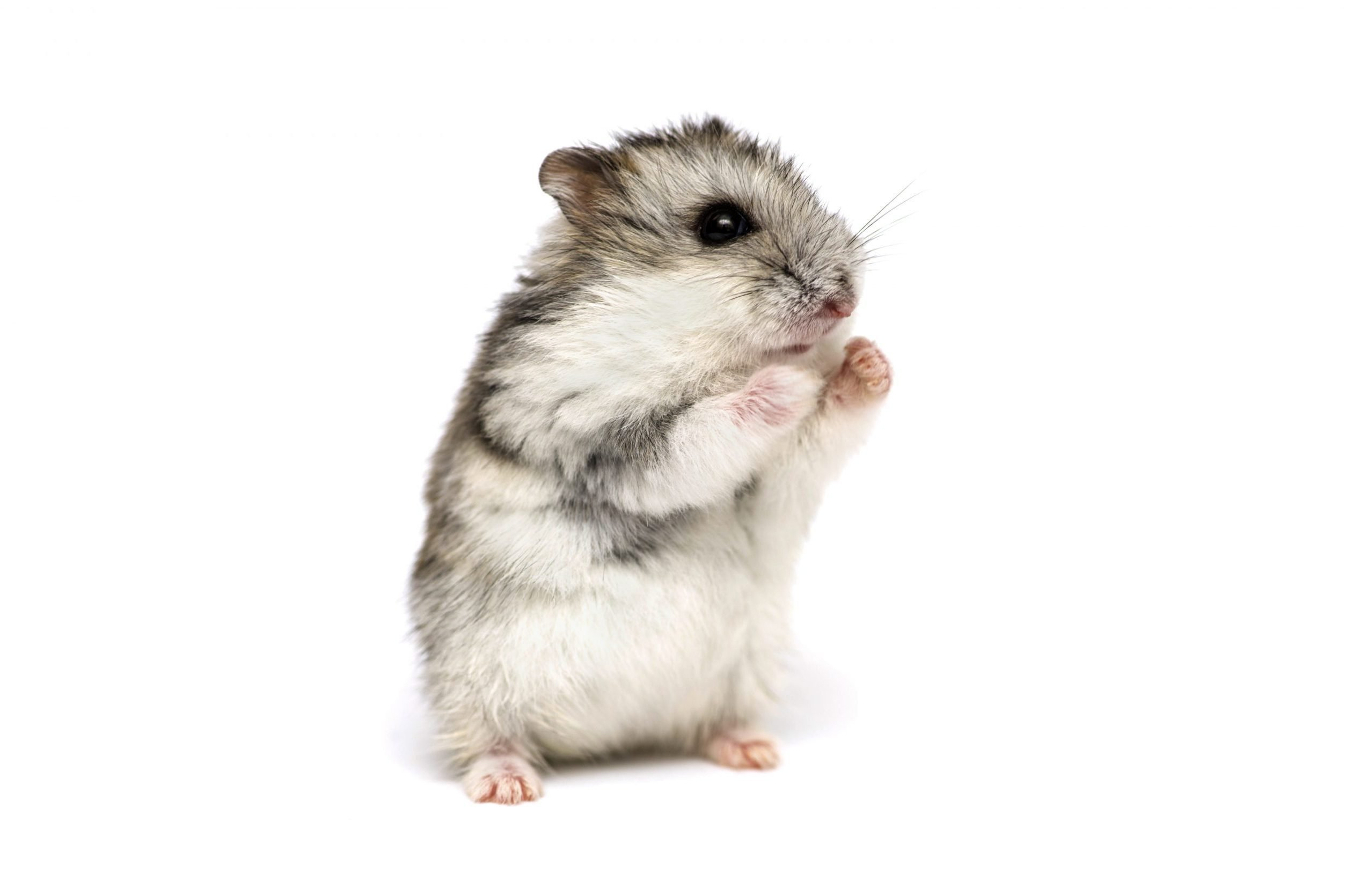 Small domestic hamster isolated on white background. Gray Syrian hamster stands on his hind legs isolated on a white background