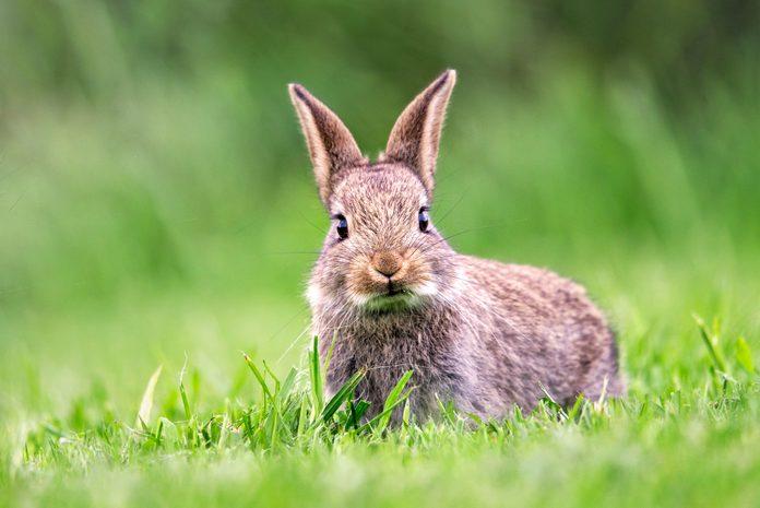 British Wild Rabbit Eating Short Grass