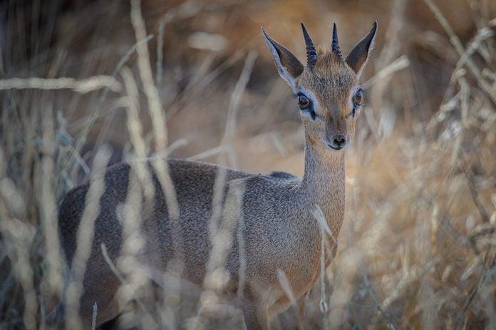 Dik-dik in the grass in Samburu National Reserve, Kenya, East Africa