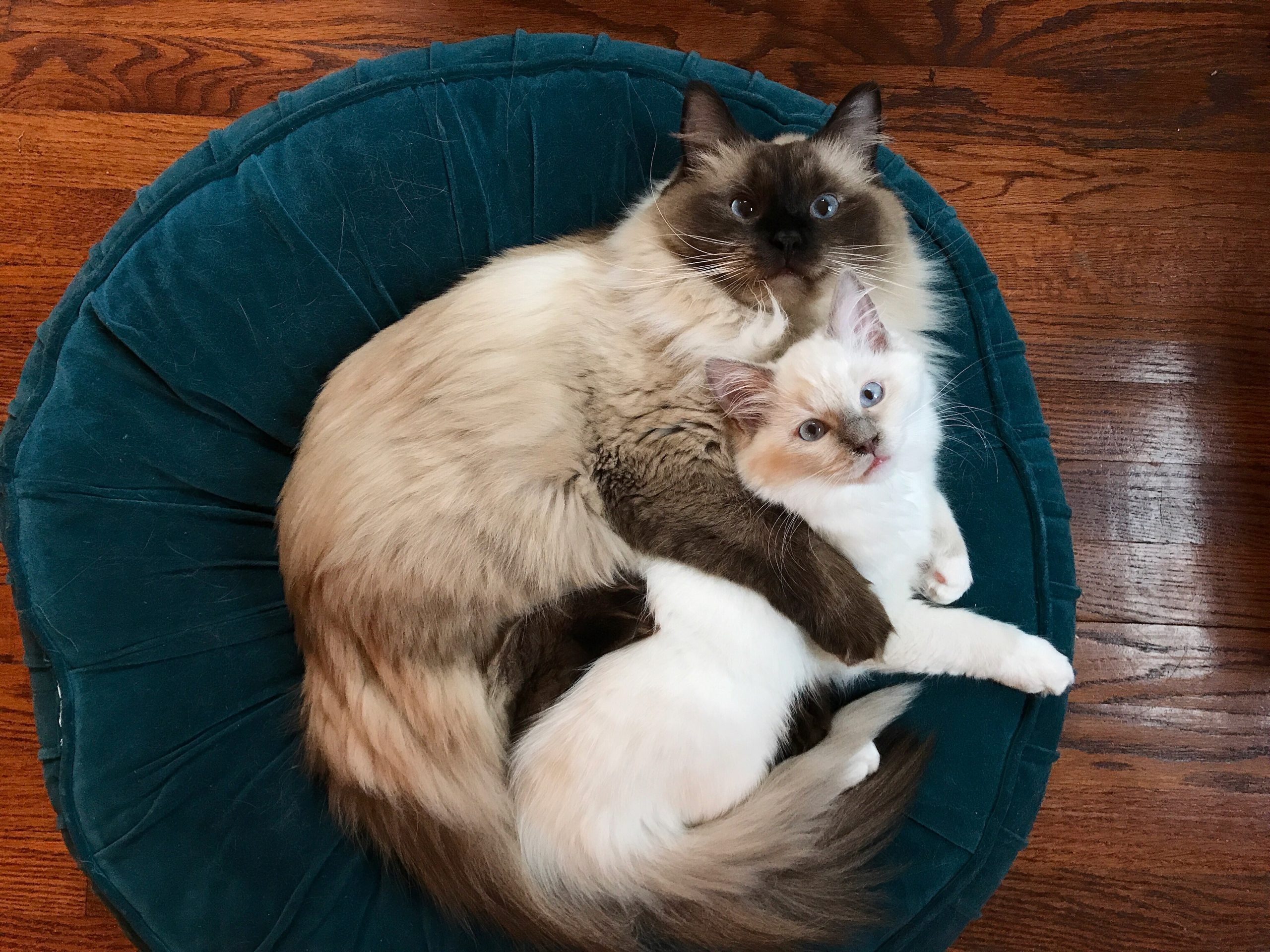Two Ragdoll Cats Hugging and Snuggling
