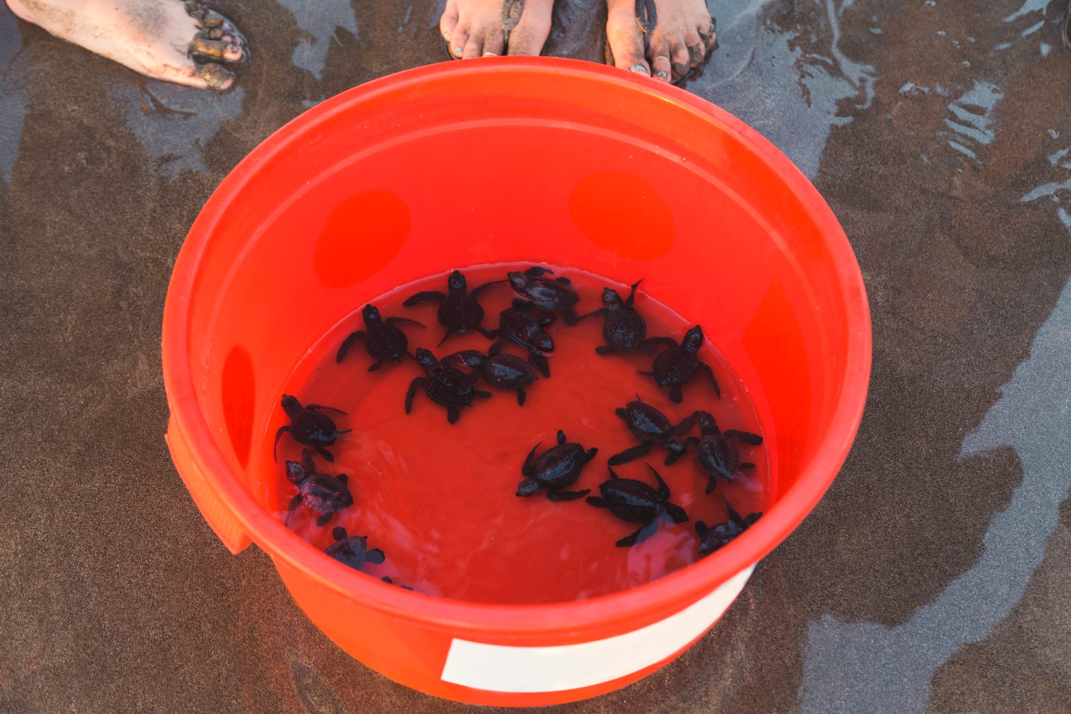 Young turtles in bucket on beach, Seminyak, Bali, Indonesia