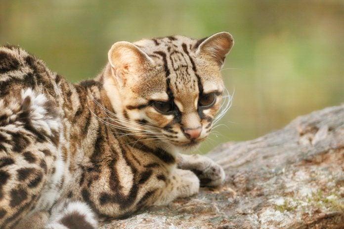 Close up on a margay leopardus