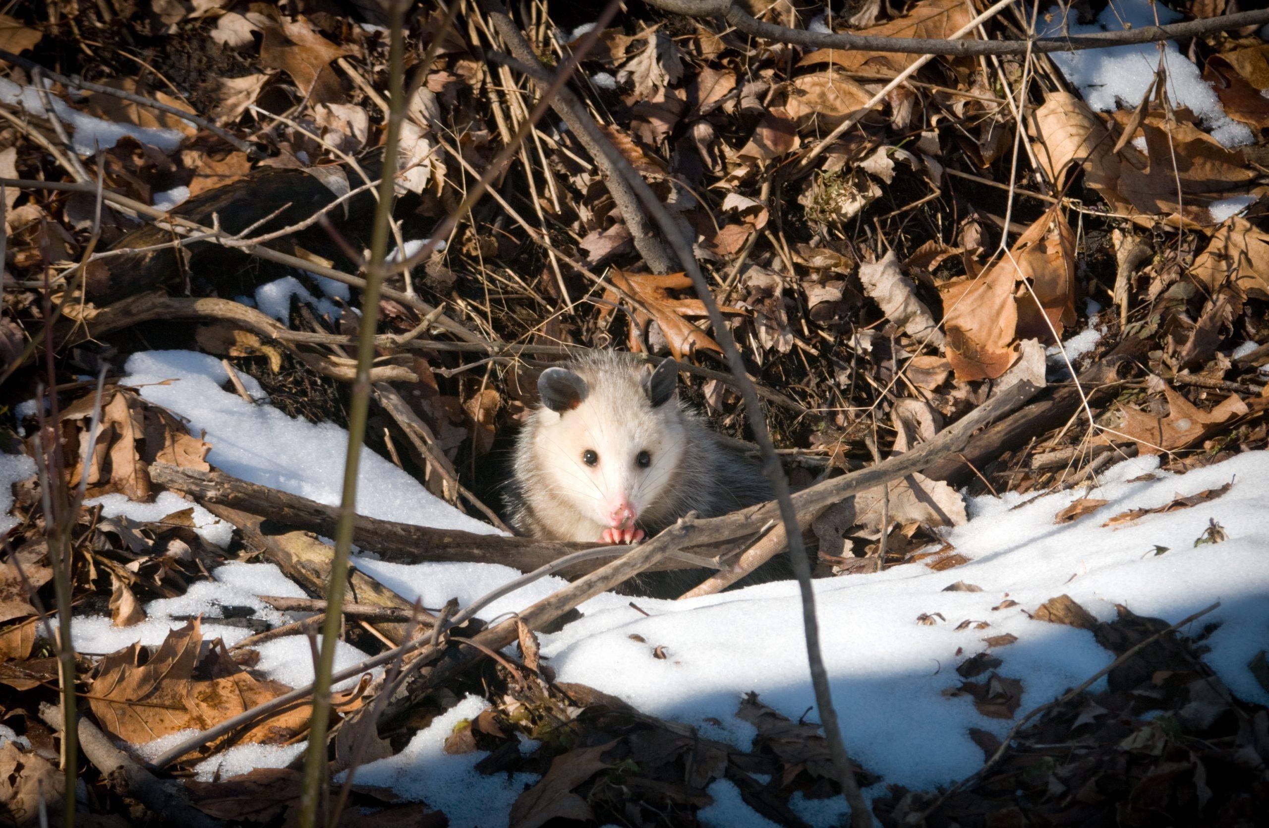 Opossum Peeking From Its Hole