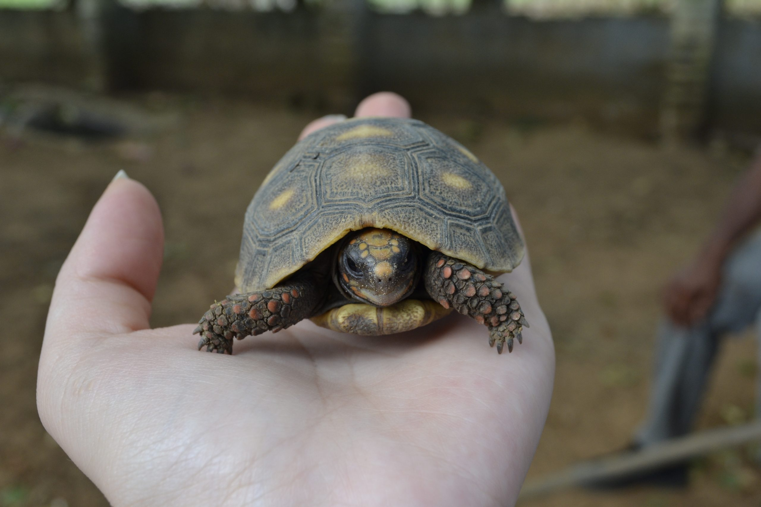 Close-Up Of Human Hand Holding A Turtle