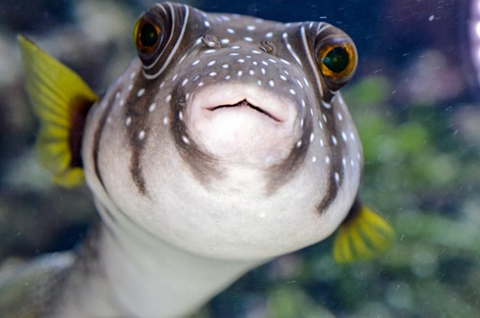 Portrait Of A Japanese Balloon Fish Watching At The Camera