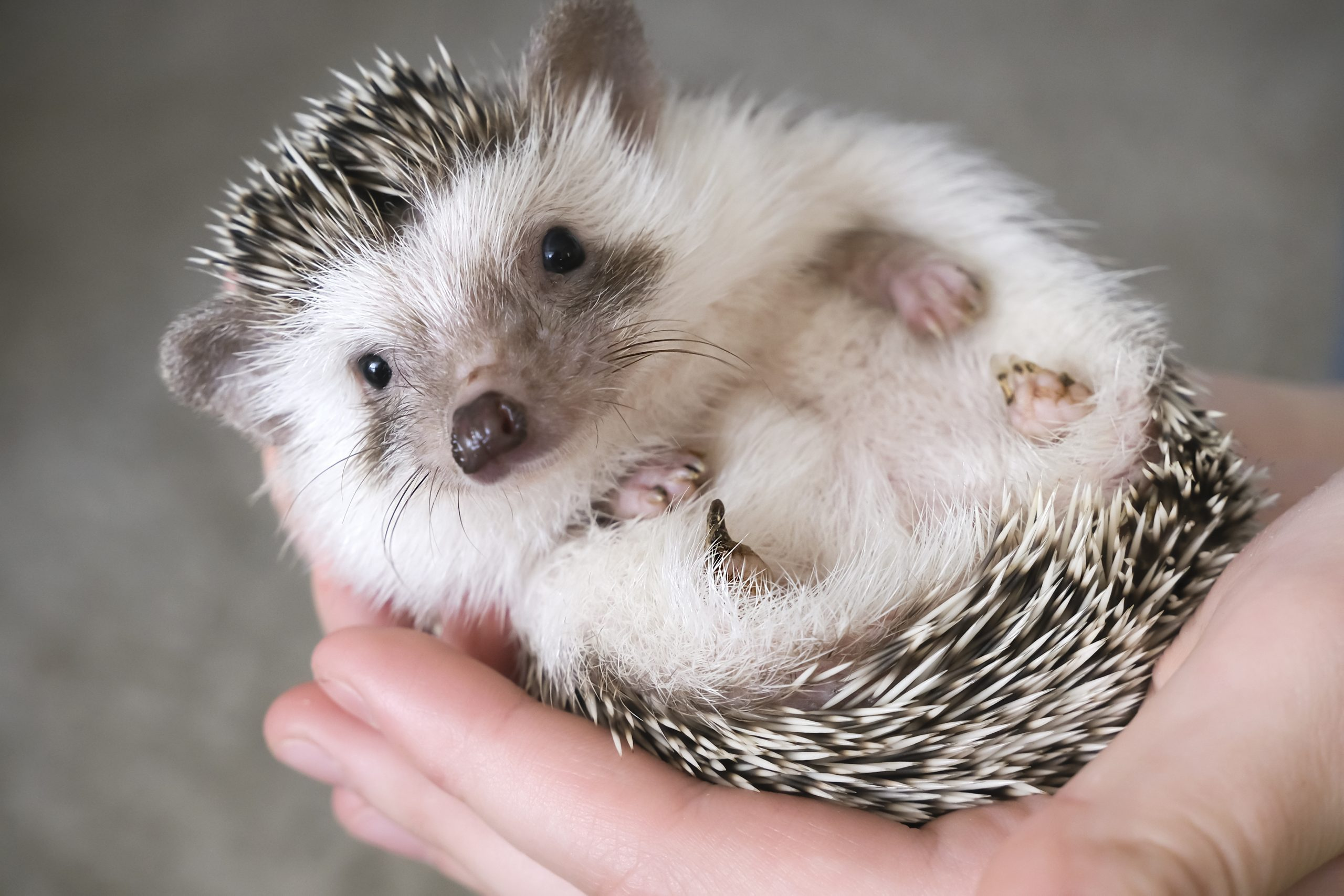 African pygmy hedgehog lies in the hands of a person. High quality photo