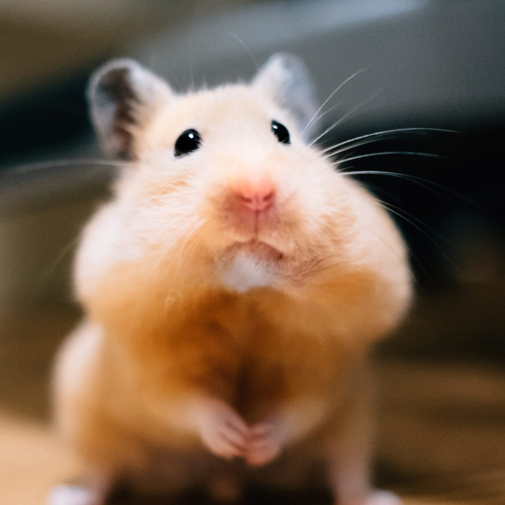 hamsters have cheek pouches