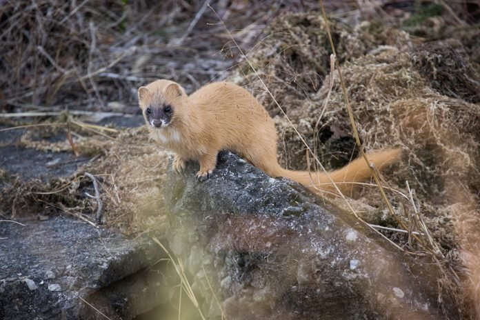 a wild weasel pictured in japan