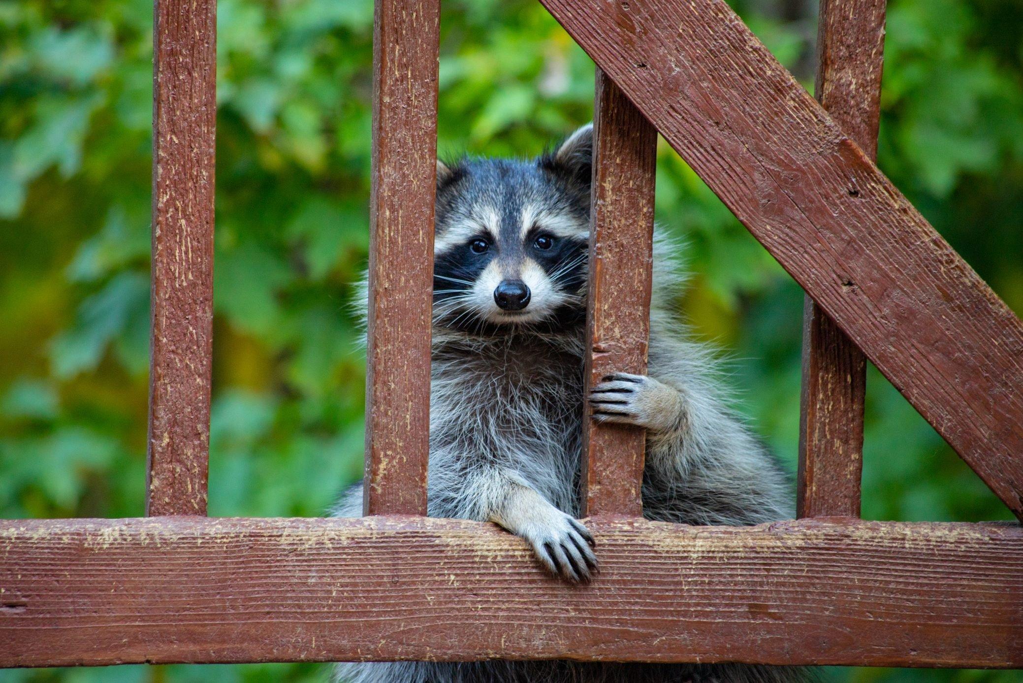 Raccoon Peering Through A Gate