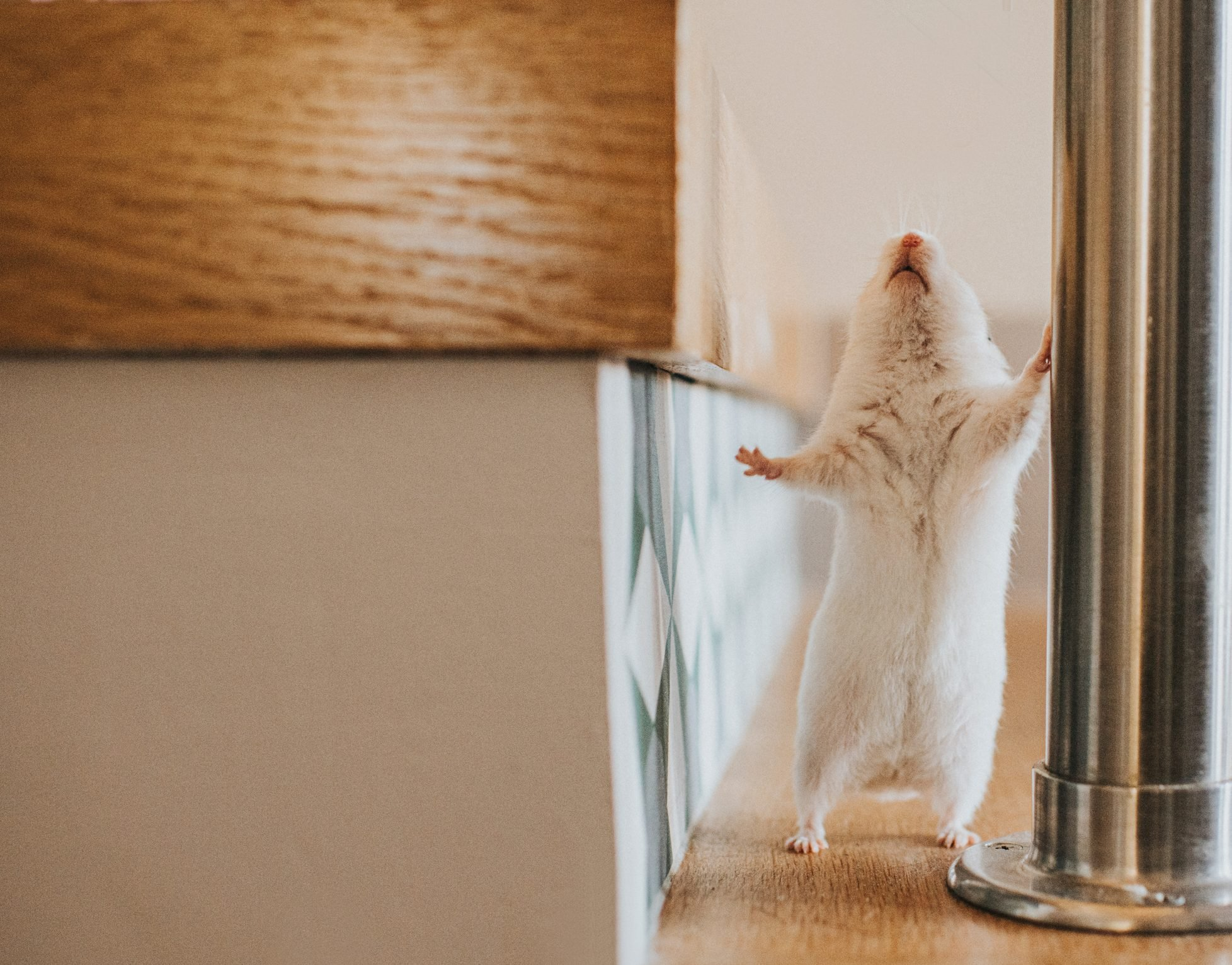 White Syrian Hamster stands beside a Bannister on a staircase and looks up