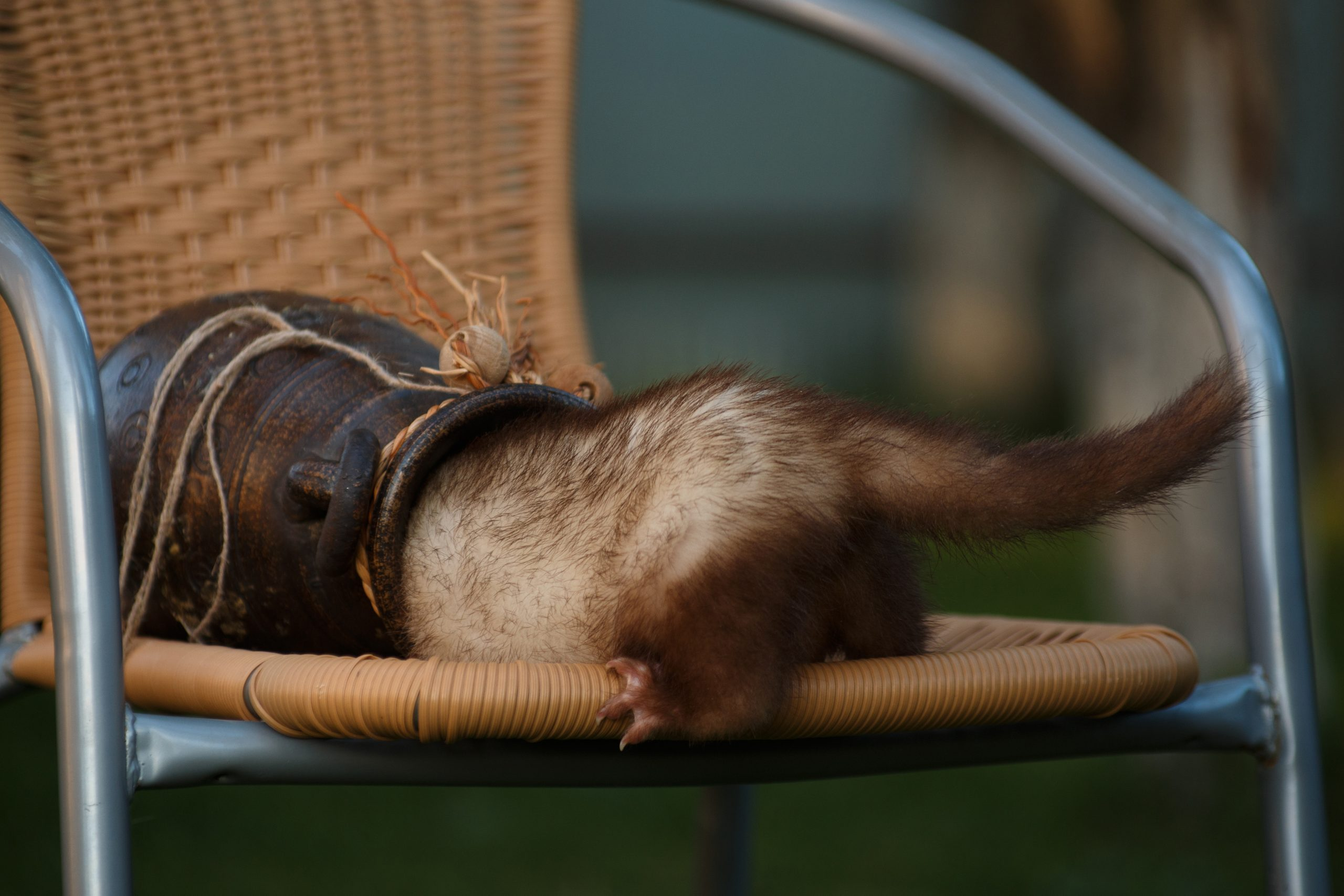 funny ferret hides in an amphora
