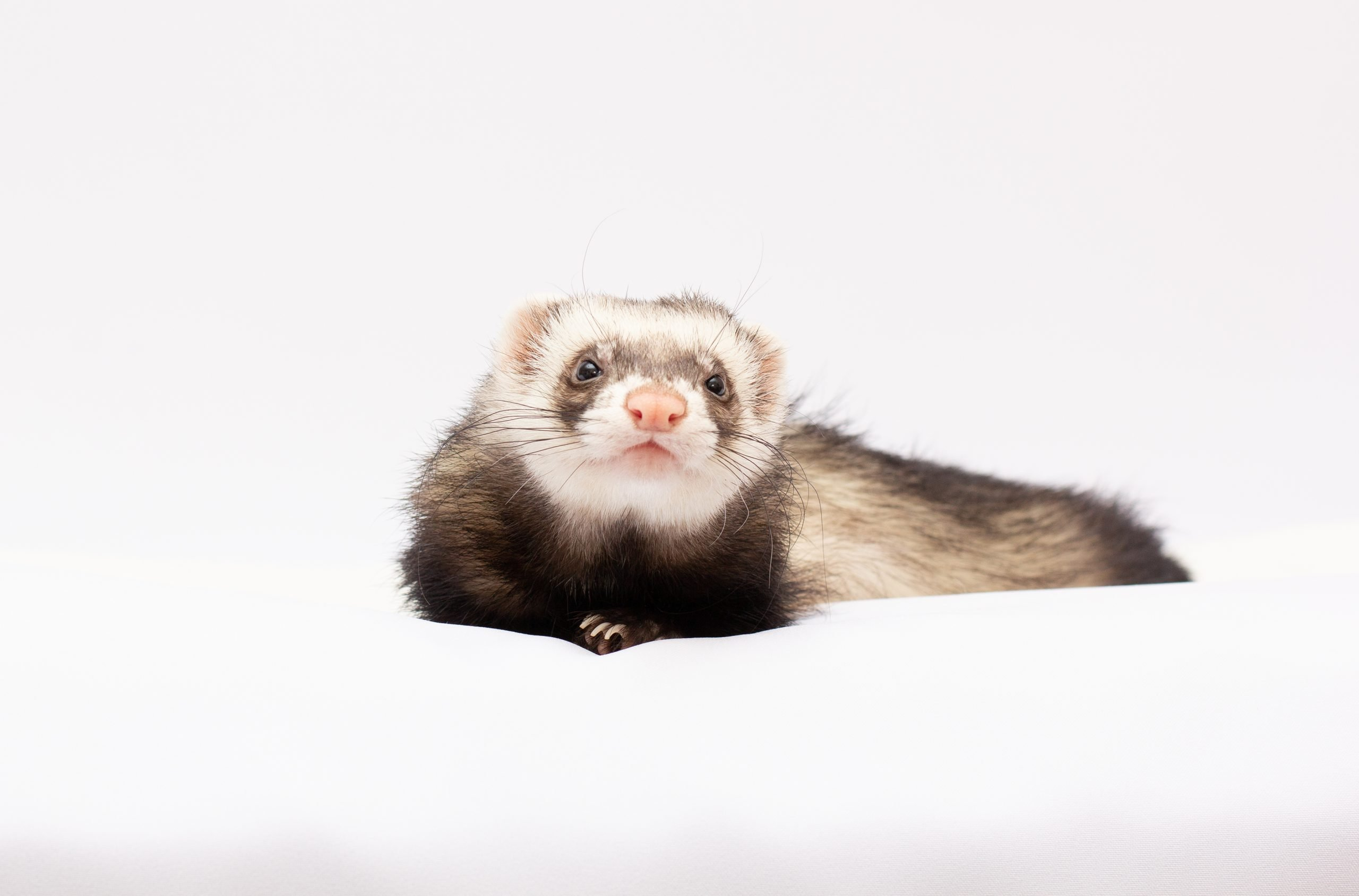ferret in front of a white background