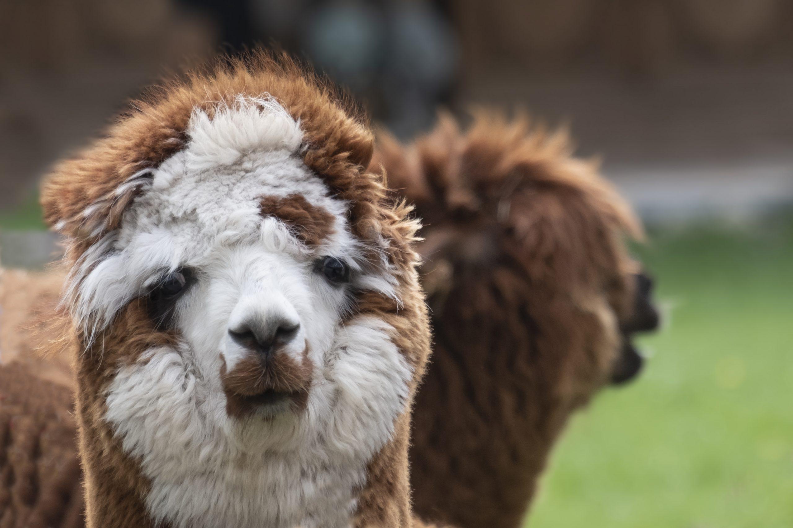 Close-Up Portrait Of A Alpaca On Field