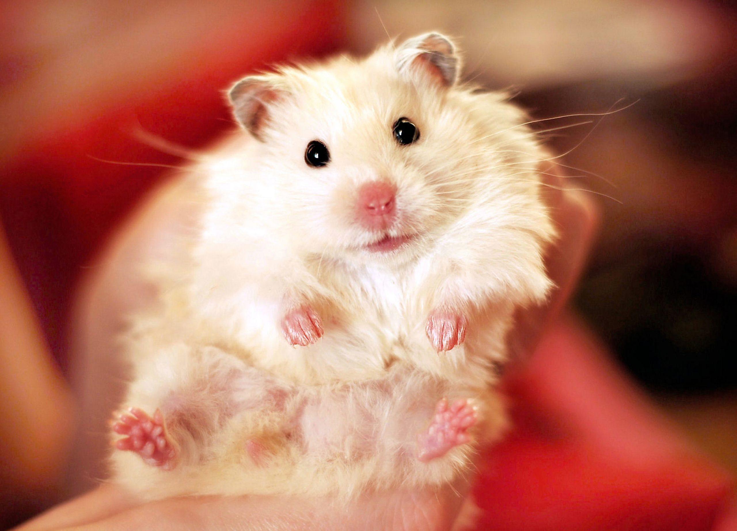 White longhaired syrian hamster