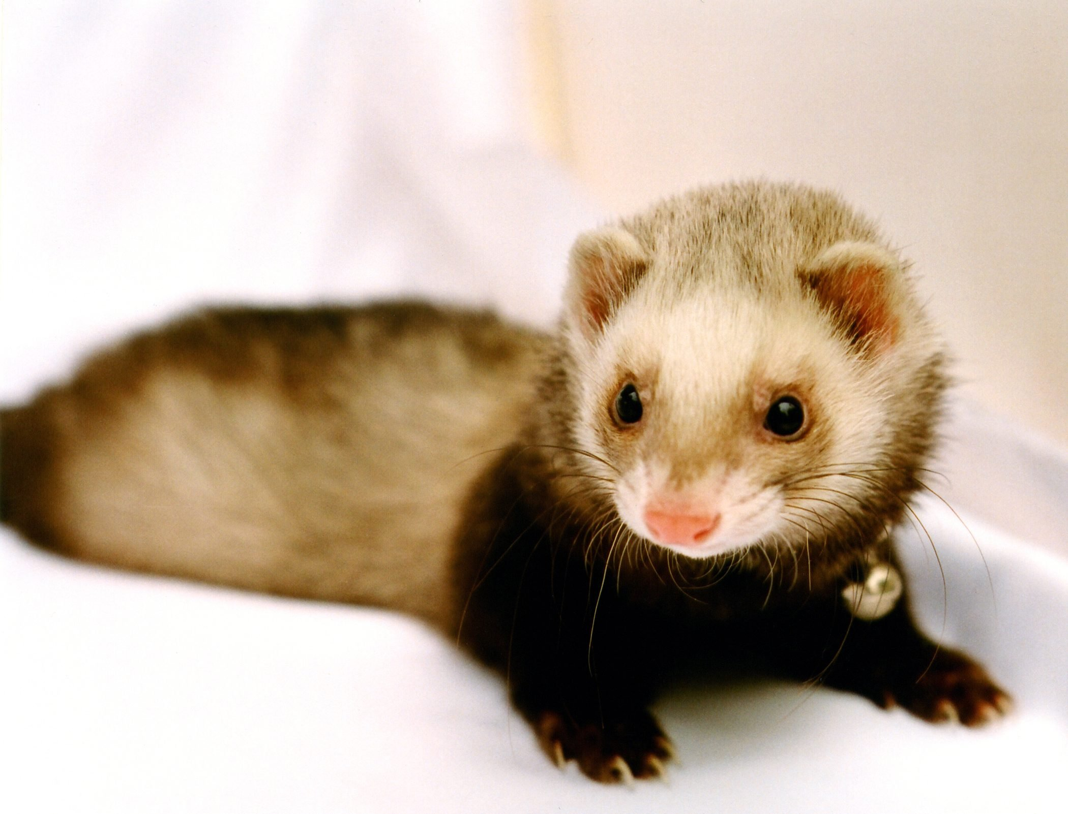 Chewy the Sable Ferret