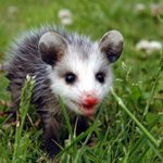25 Possum Pictures That Will Convince You They're Actually Cute