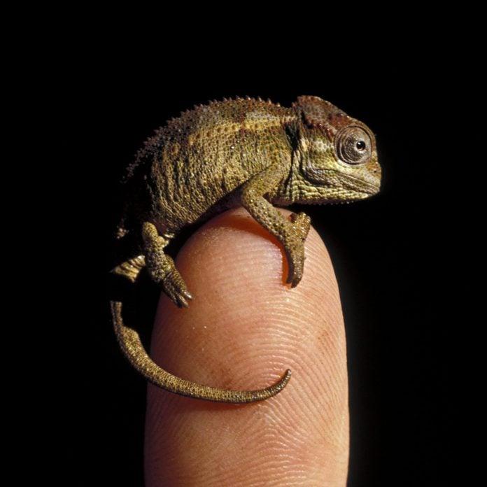 Baby Chameleon on human finger. Chameleo sp. Kenya