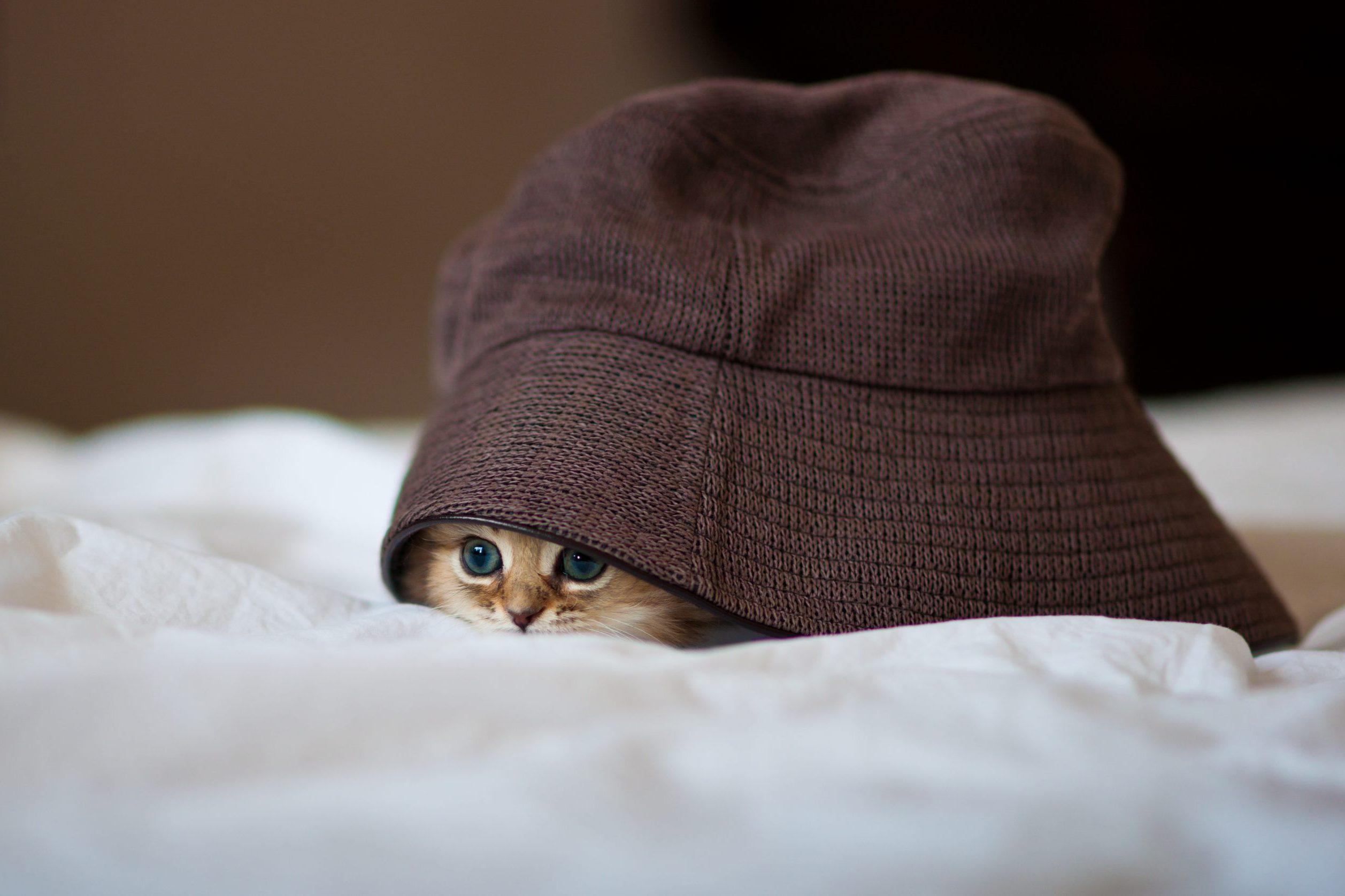 Kitten under brown hat