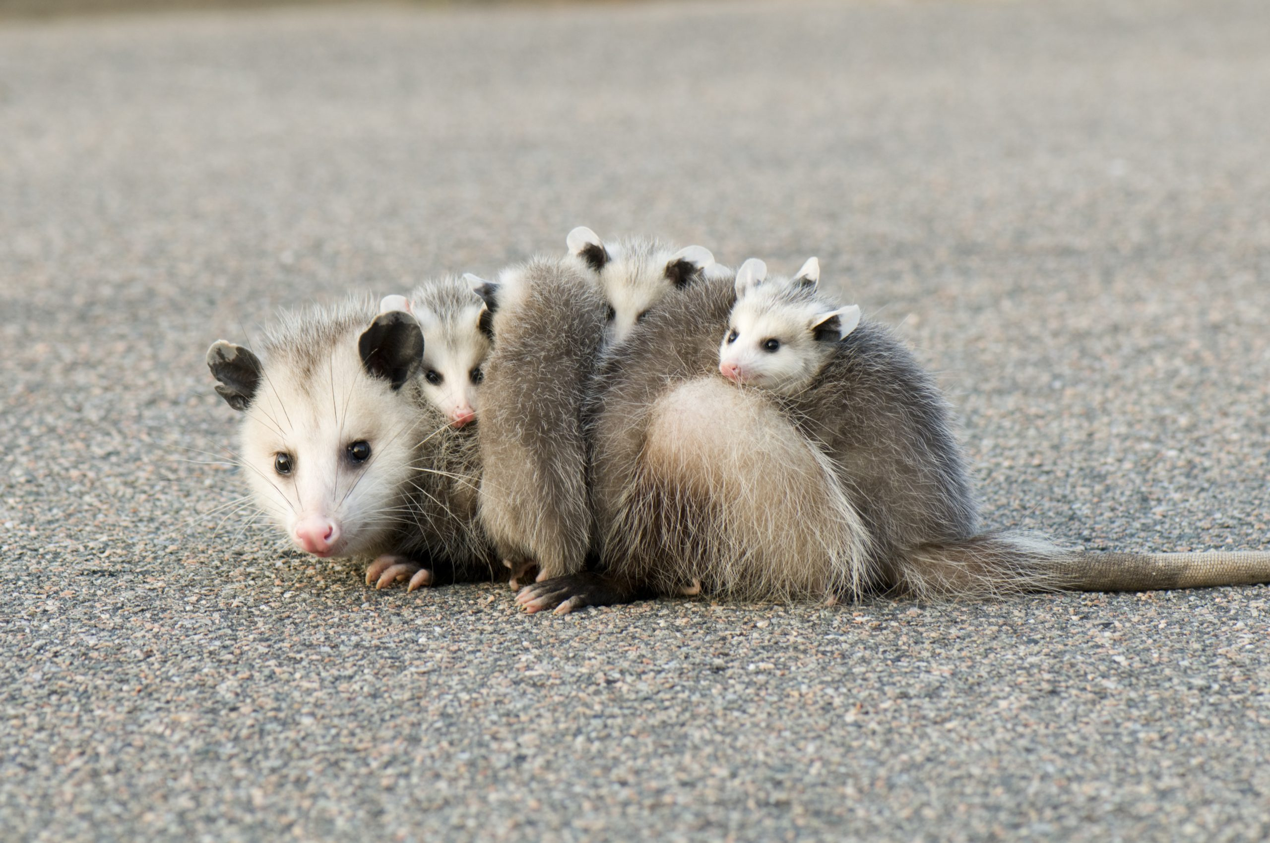 A mother opossum with its four babies on the pavement