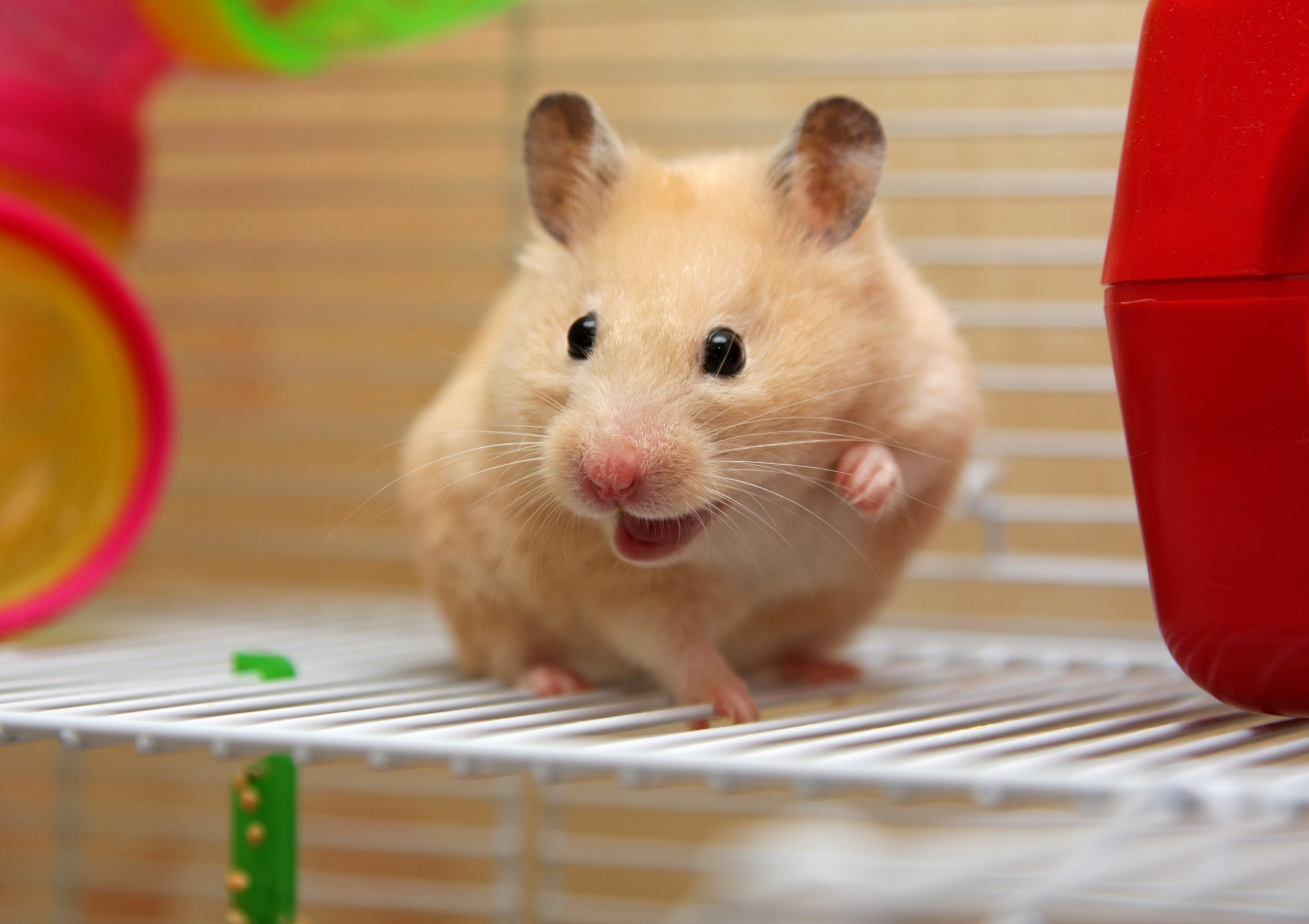 A cream colored hamster with its mouth open in its cage