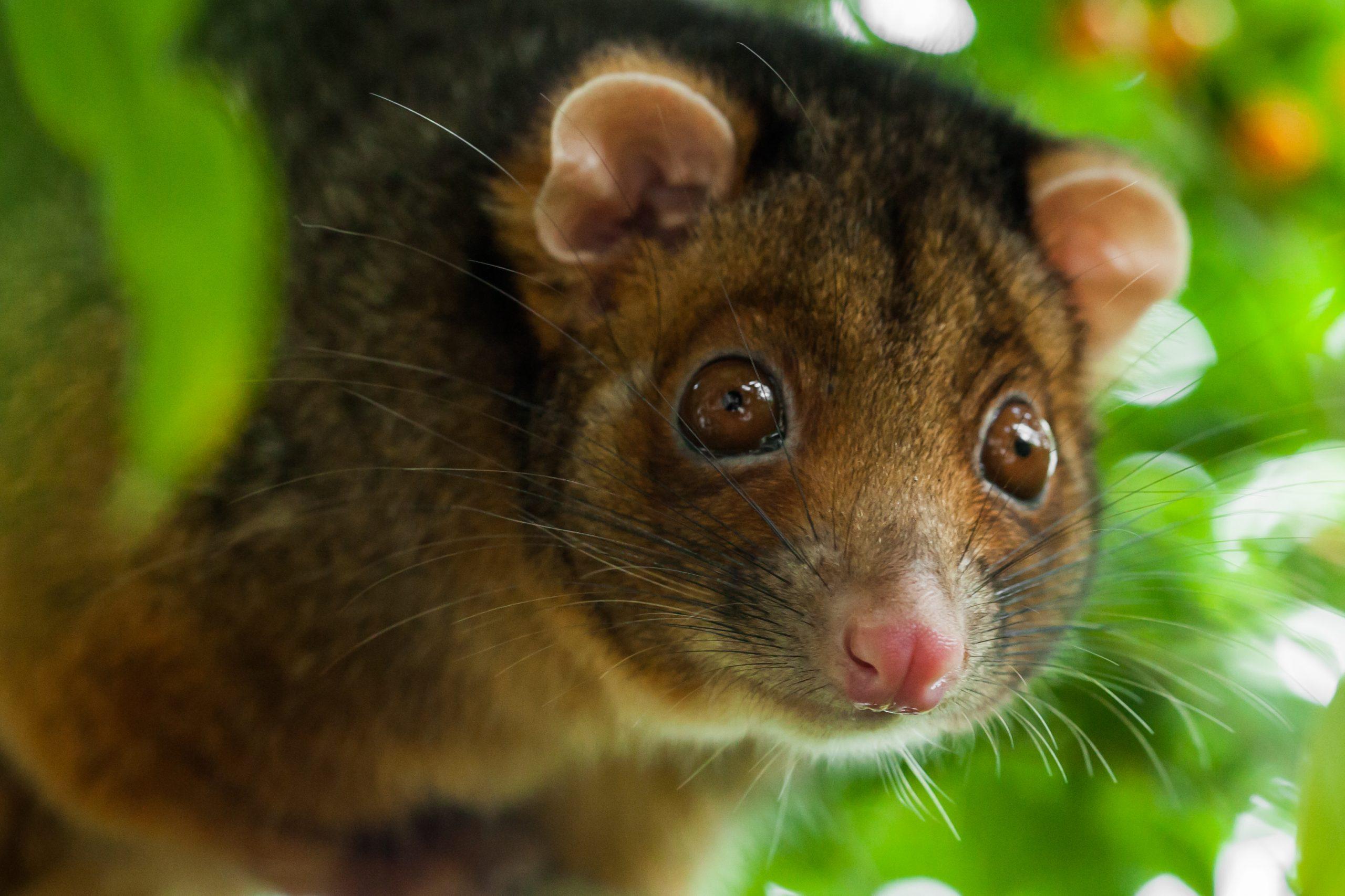 Ringtail Possum Shallow Focus