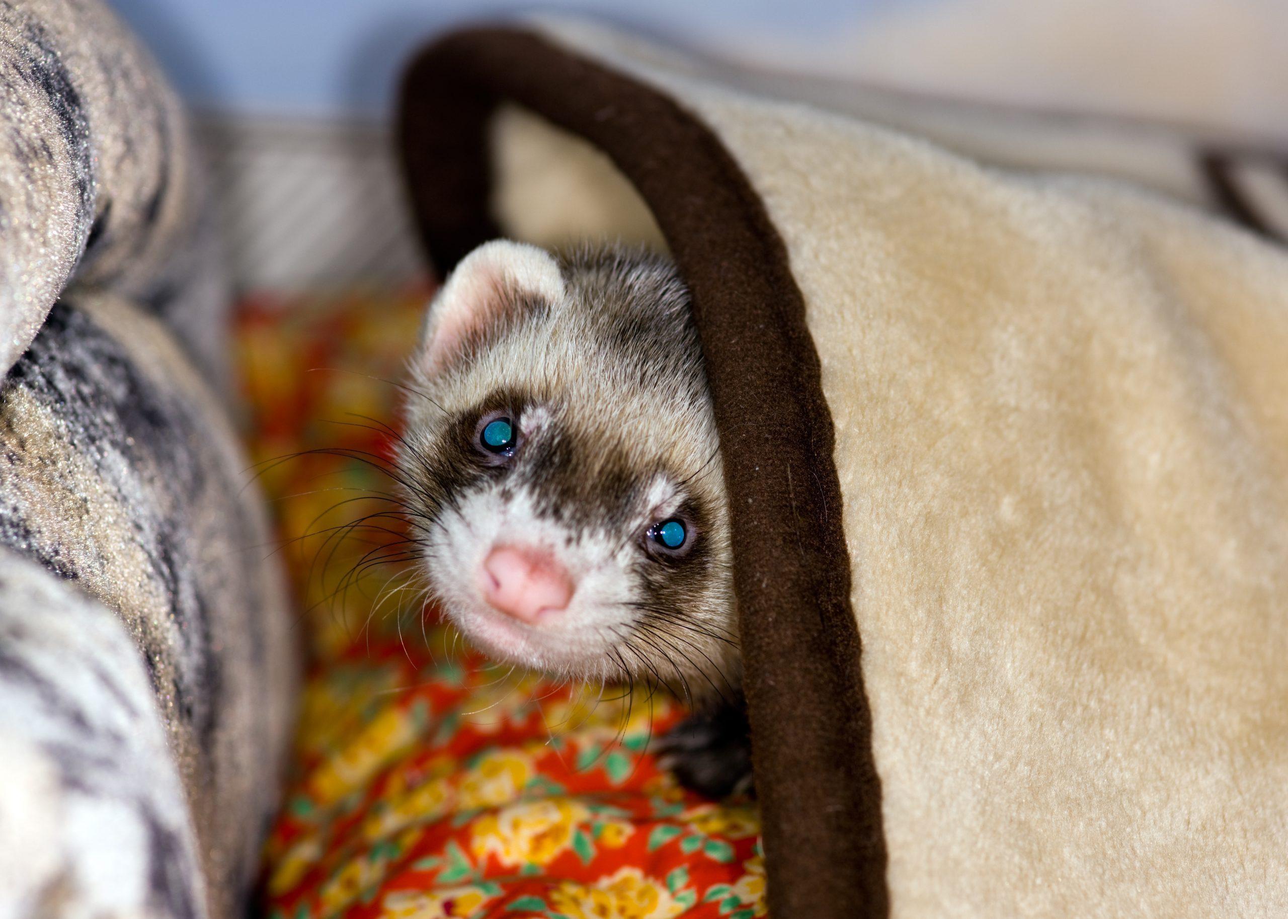 Polecat under a blanket