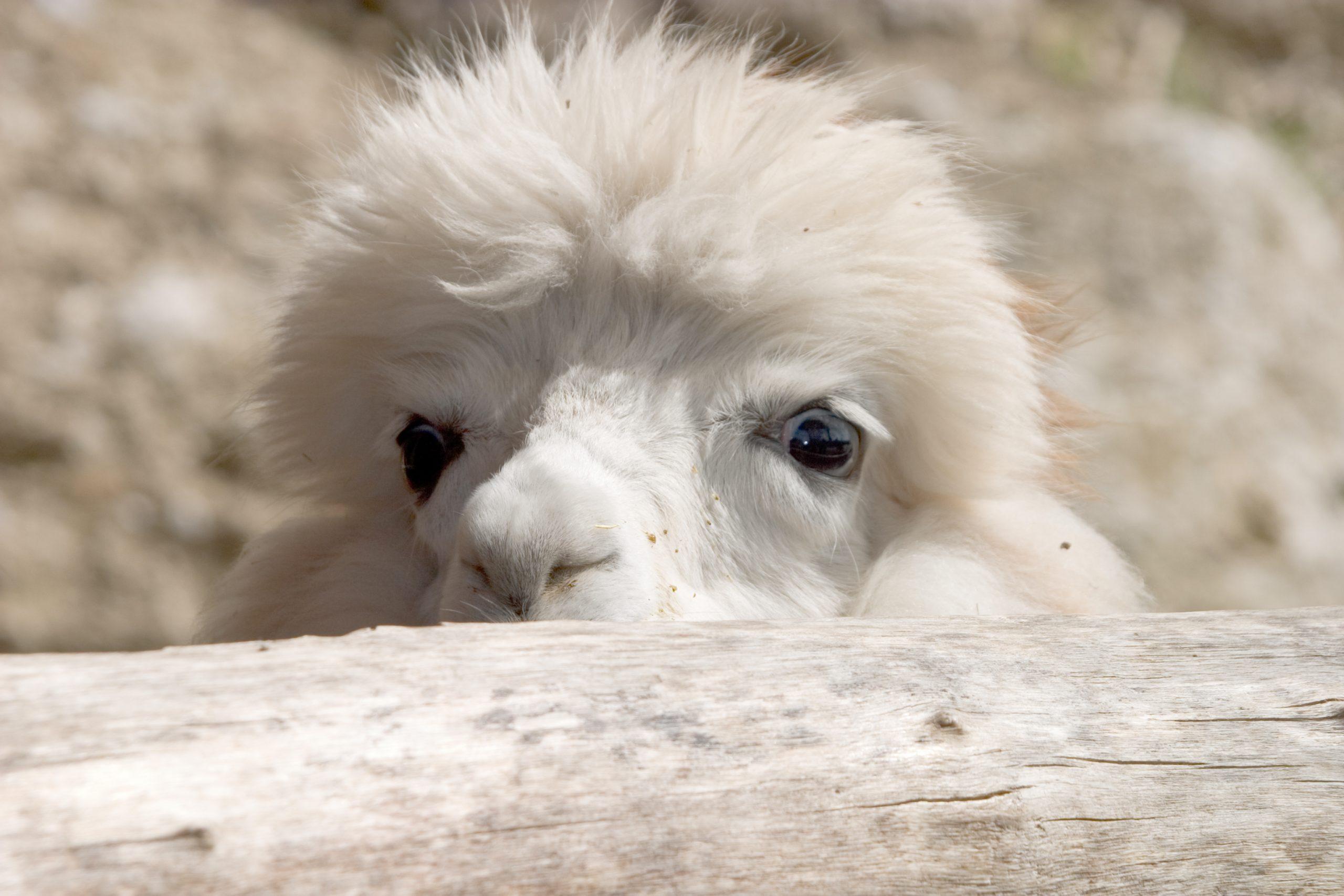 Cute looking alpaca