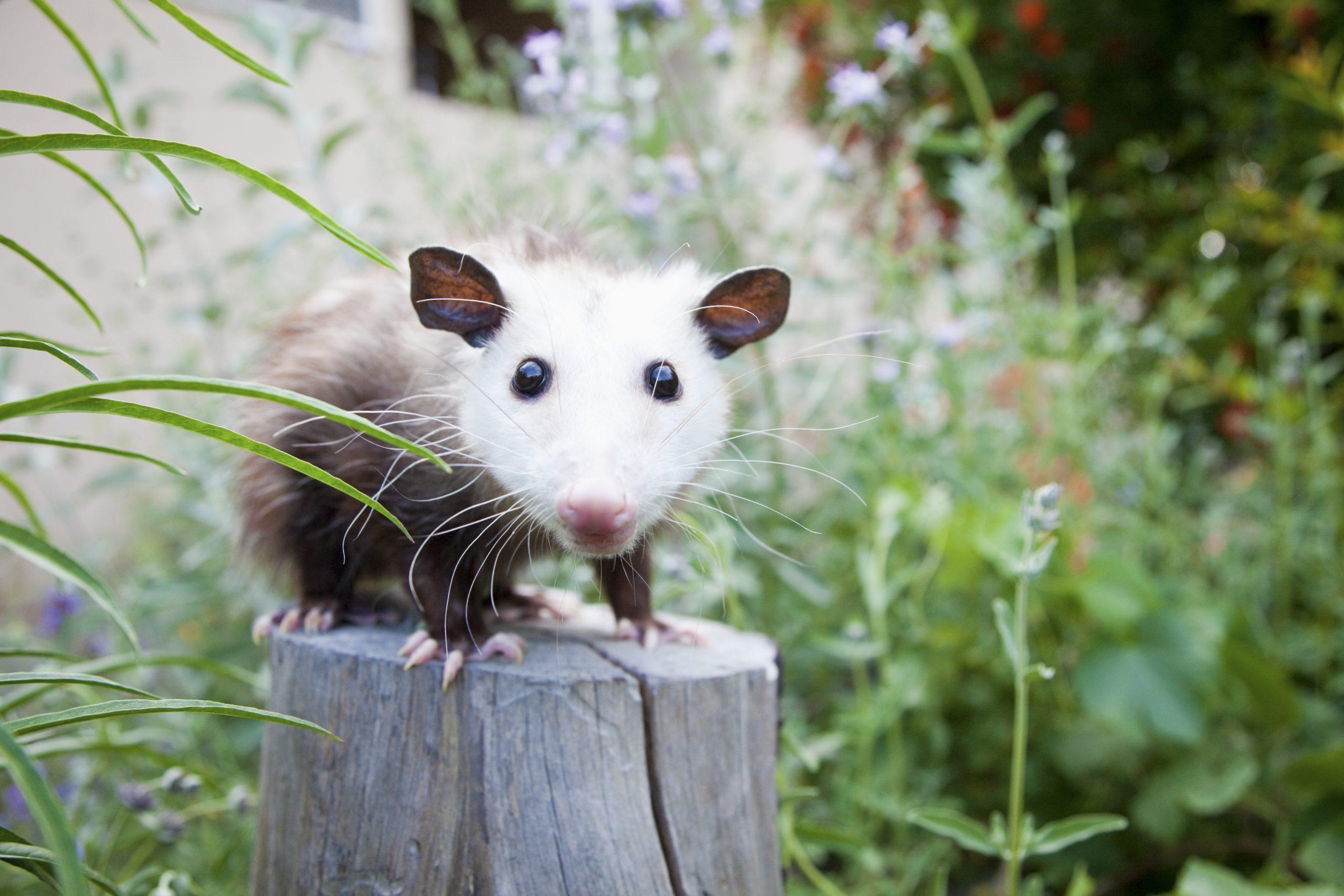 Pet possum on tree stump