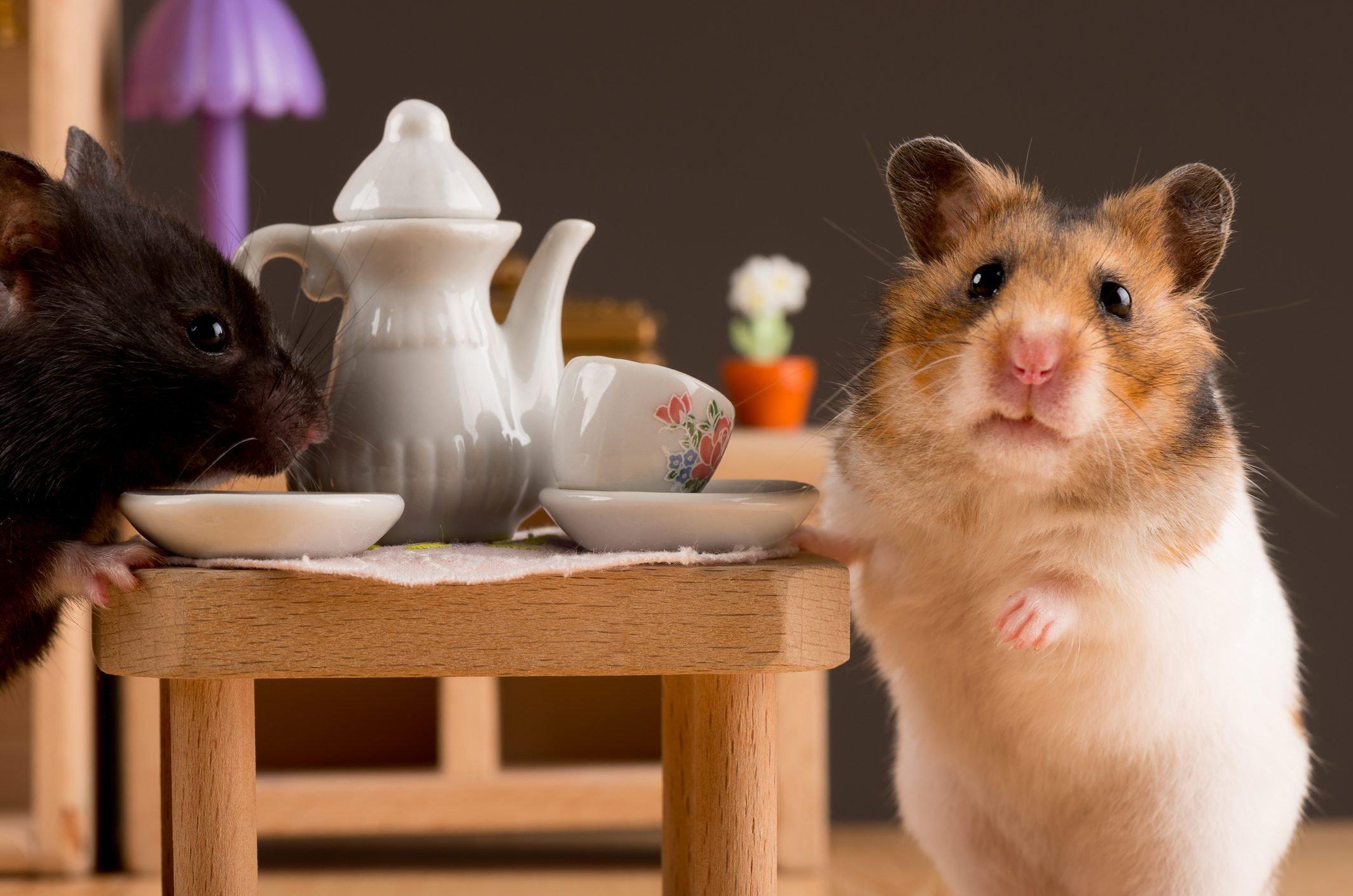 hamster posing