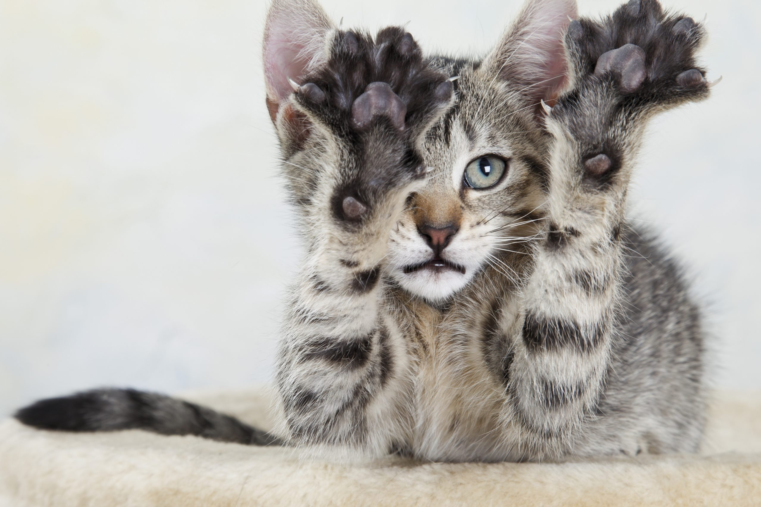 Domestic cat, kitten stretching out paw, portrait, close-up