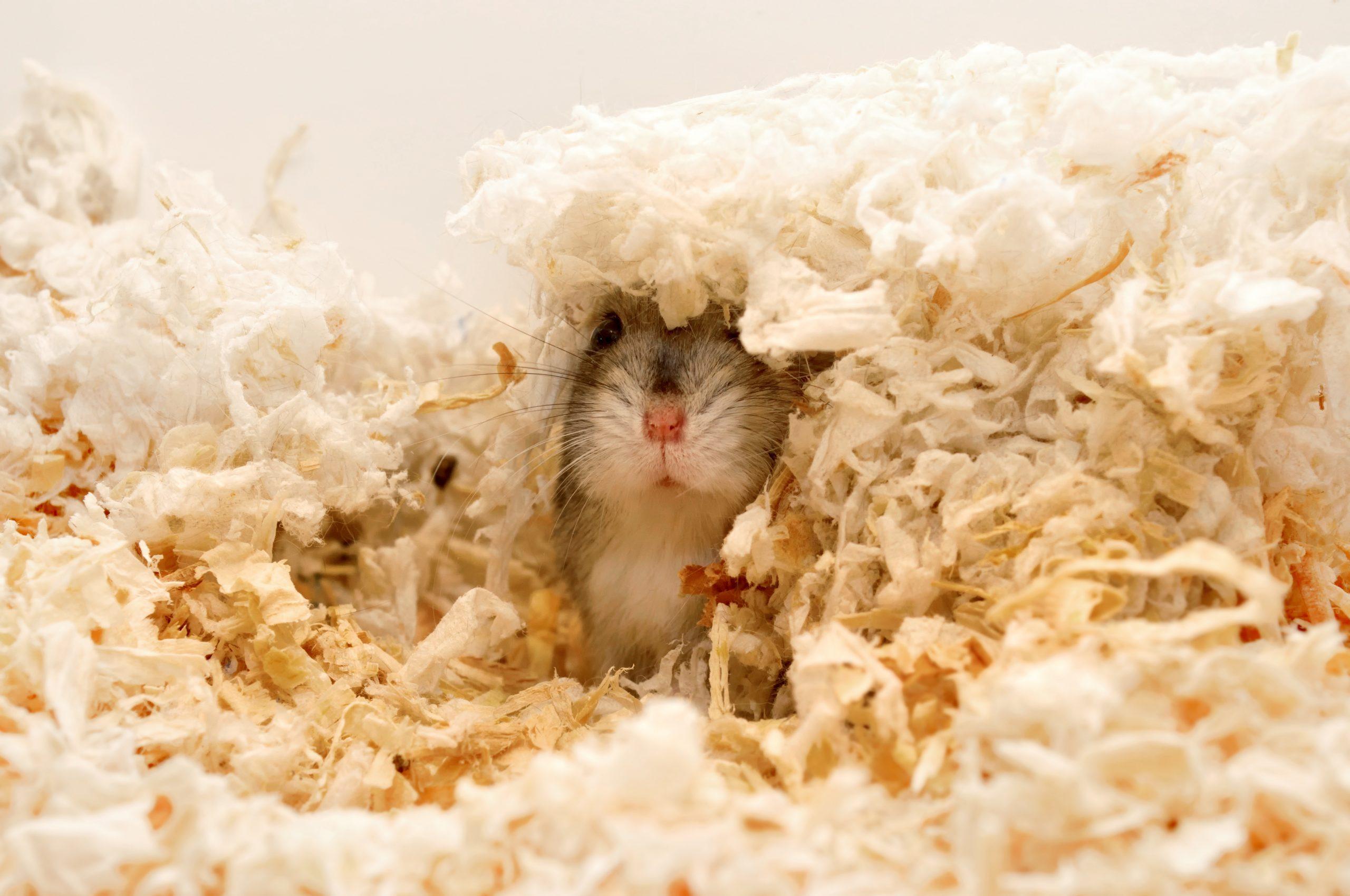 Find me! Dwarf hamster hiding