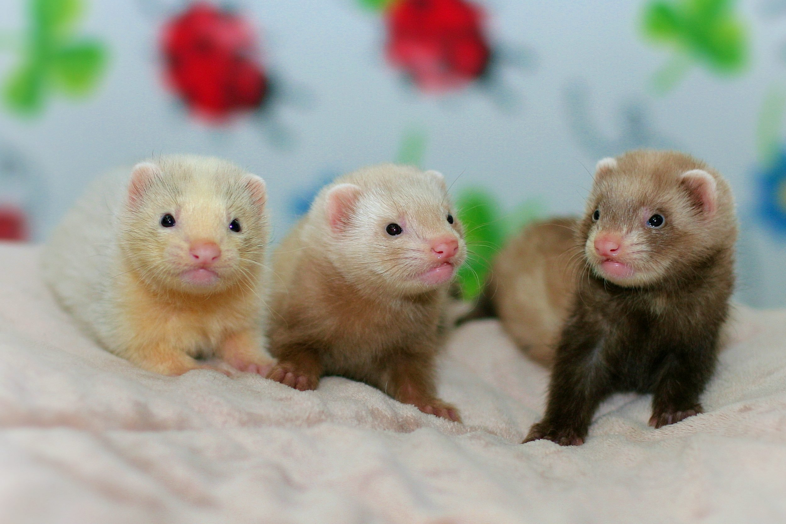 Three Baby Ferrets