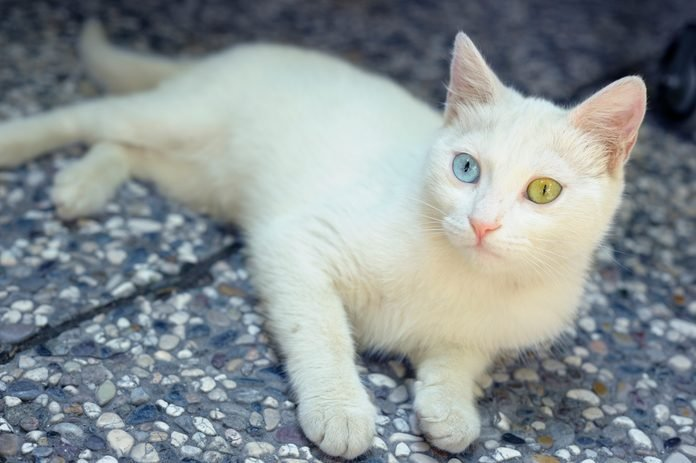 Turkish Van Cat with Differently Coloured Eyes