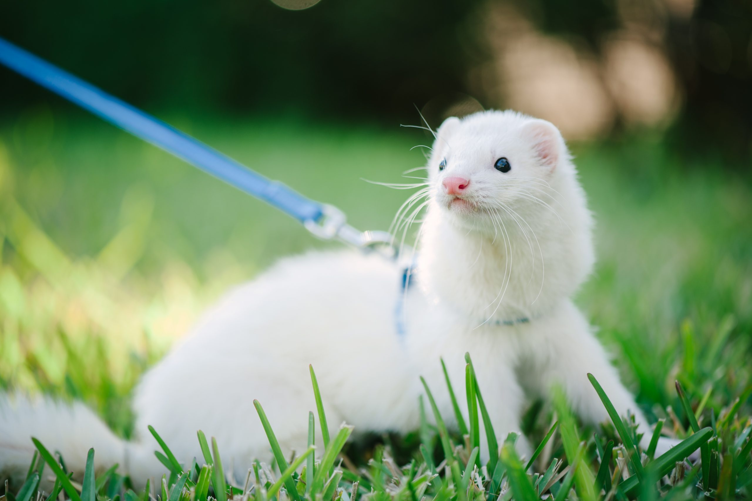White domestic ferret taking a walk.