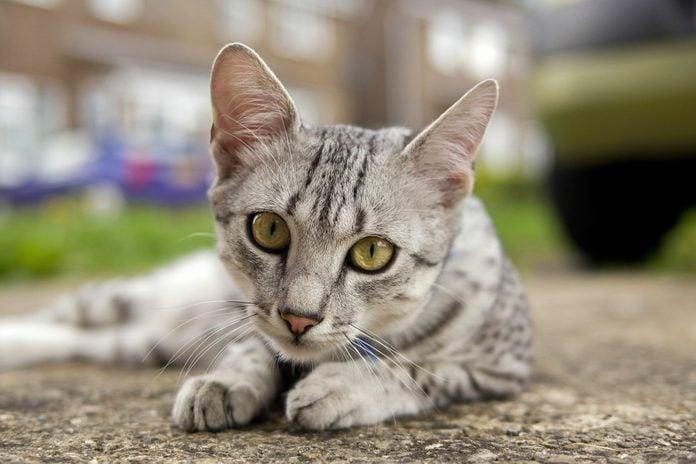 Egyptian Mau cat in street