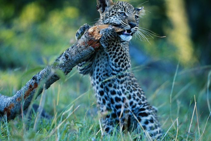 Leopard cub (Panthera pardus) holding branch, Masai Mara, Kenya