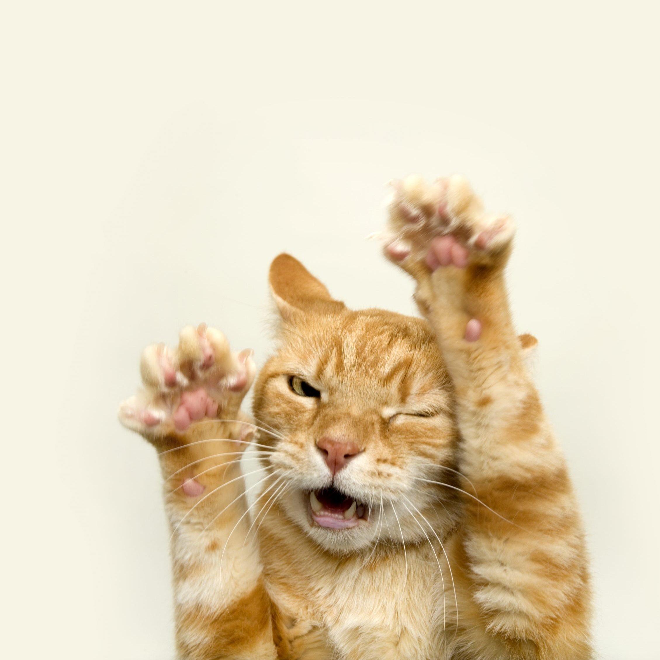 Ginger cat, studio shot