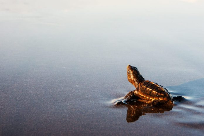 Newly hatched turtle entering the surf in Costa Rica