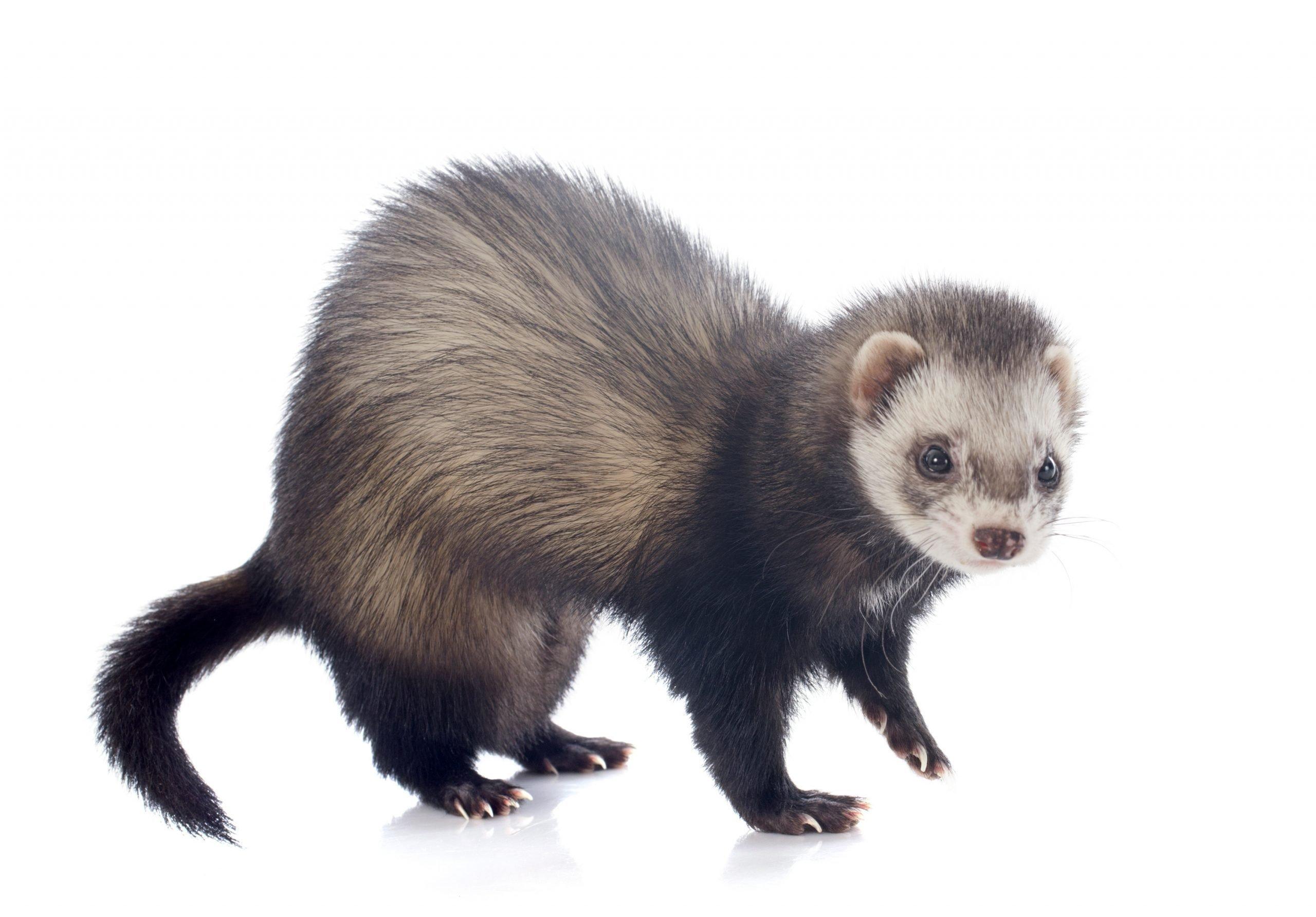 eating brown ferret