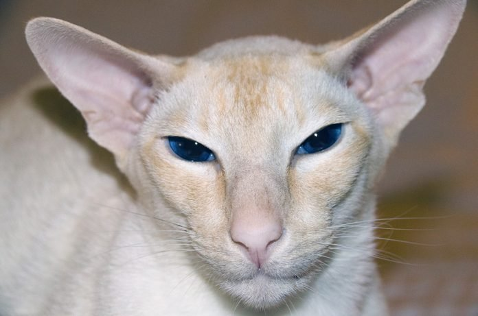 Cream Point Colorpoint Shorthair Cat