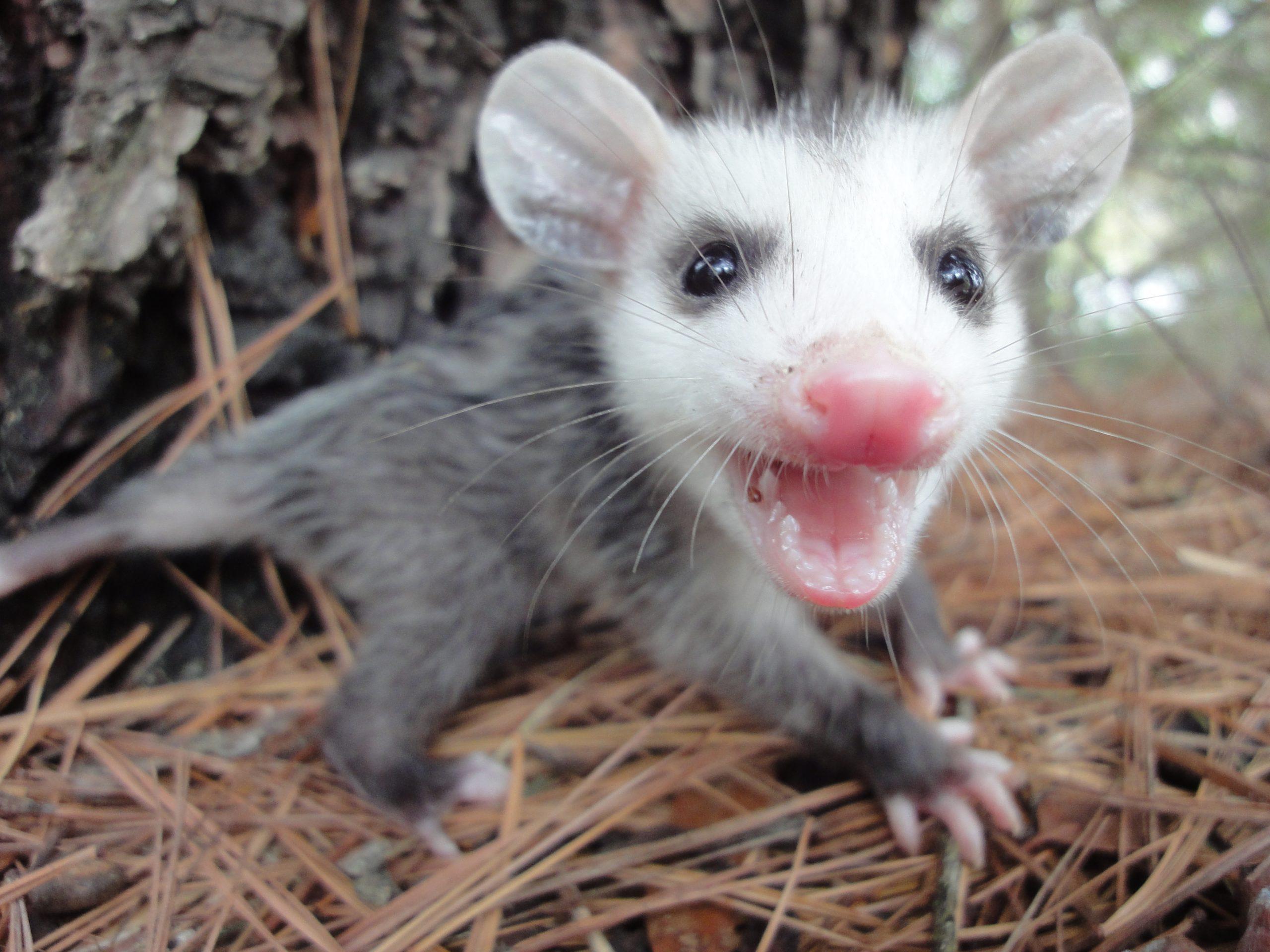 Angry Baby Opossum