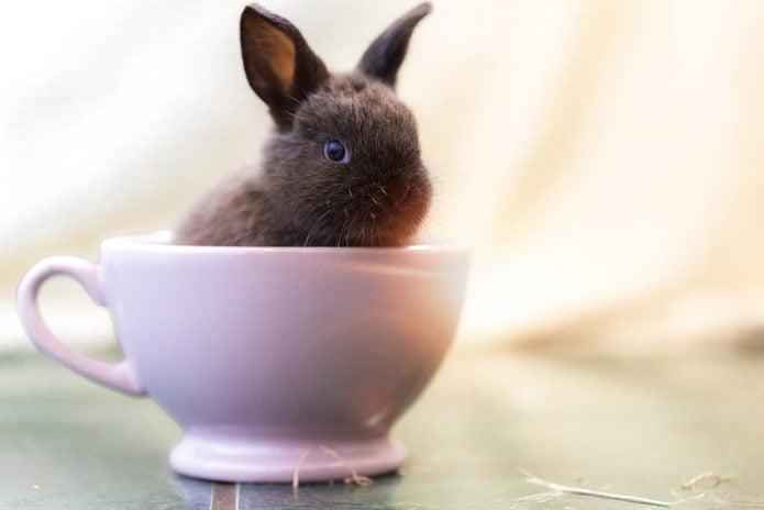 Baby Rabbit in teacup