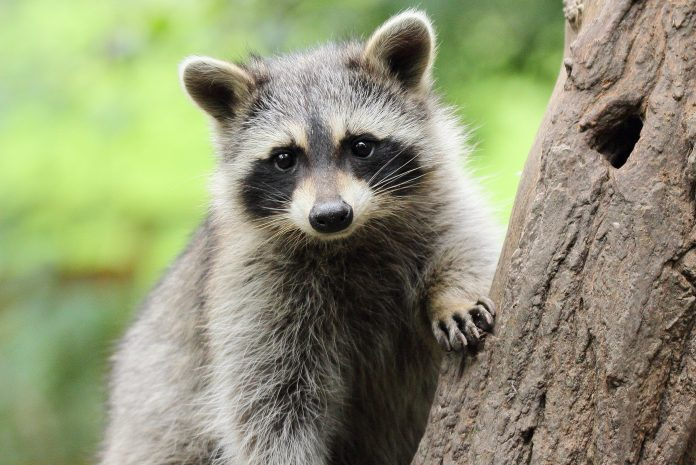 28 Cute Raccoon Pictures That Will Make You Smile