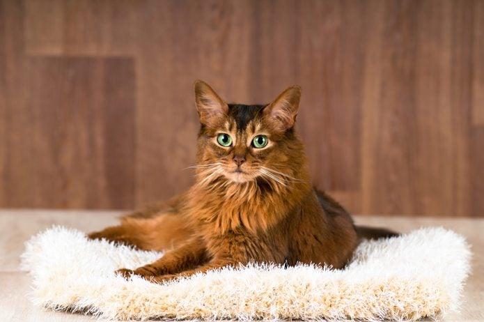 Somali cat portrait on fluffy bed